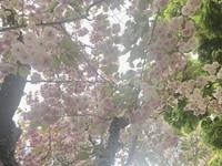 花についての質問です。 桜に似ていて、5,6つがまとまって下を向いて咲いているピンク色の花、なんて花かわかりますか?この写真のものです。 語彙力が乏しくてすみません。