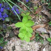 キンモクセイの足元です。 これはキンモクセイの幼木でしょうか? あたりにはクリスマスローズも植えています。