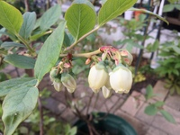 ブルーベリーの品種を知りたいです。 お花の写真からわかりますか?