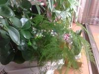 植物の名前を教えて下さい。 友人のマンション窓際に置いてある 植物ですが ペペロミアとパキラの手前にある 非常に細かい葉っぱの植物は 名前はなんというんでしょうか? ご存知の方、教えて下さい。