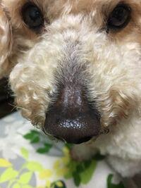 トイプードル( 8歳 オス)の鼻の上が、1ヶ月前位から薄くなり、今はツルツルになってしまいました。 何か病気なのでしょうか?(痒みはない様です) ご存知の方、是非ご教示下さい。