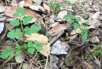 道端で見つけたこの植物、名前はなんでしょうか。  三月下旬ごろから四月下旬にかけて発芽したようです。 京都市の吉田山付近です。 林のなかの、いつもほとんど日陰な場所に生えていました。 高さは5cm程...