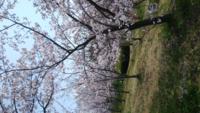 何故、日本人は桜の花がものすごく好きなのですか?