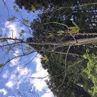 樹木について質問です。 山形県鶴岡市の山中ですが、写真にある樹木があります。高さは10メートルくらいで、5月の今の状況です。この樹木の名前をご存知の方、お願い申し上げます。