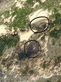 海の生き物 気持ち悪い。 ゆっくり動いています 場所は砂地海岸にある岩礁の上の藻が生えている場所にいます  何の生き物かわかりますか? 見にくくてすいません