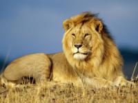 雄ライオンと雌ライオンの戦闘力は比較になりますか?