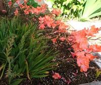 オレンジの花の名前。今頃いつもに庭に咲きます。球根植物で開花期間は せいぜい10日くらいですぐ花が枯れていきます。詳しい方教えてください