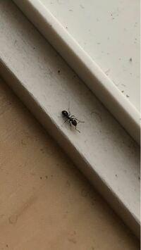 家の中のアリと、庭にいる赤い小さい虫について教えてください。 ここ1ヶ月ほど前から、家の中にアリが出るようになりました。 小さい子供がいるので、食べこぼしが原因かと思います…。 こまめに掃除機をかけたり...
