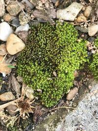 このコケの種類分かりますか? 庭に生えてますが可愛いのでどういう種類のコケなのか知りたいです。