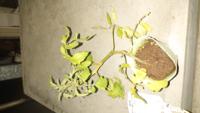 接木のトマト苗なのですが、台木の芽は摘み取ってください。と書いてありましたが、これは台木の芽はないような気がするのですが、どうでしょうか?よろしくお願いいたします。
