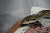 このヘビってアオダイショウですか?目玉が真ん丸なのでアオダイショウだと思うのですが確信がもてません