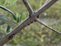 庭植えオリーブの枝に小さな黒?茶色?の羽のある虫がたくさんいました。  遠目に見ていると枝の模様のように見えたのですが、何気なく触ろうとしたところサササッと歩いて虫だと気付きました 。 よく見ると至...