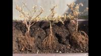 ミニバラが茶色く枯れてしまいました。 知恵袋の別の記事を見て、根っこを洗ってみましたが茶色くなっています。 枝は緑の部分が多いものもあるのですが…これは枯れた状態でしょうか?
