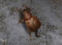 この昆虫の名前を教えてください。 コガネムシ、ハナムグリ、ハムシらへんを調べましたが分かりません。