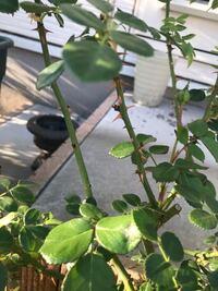 バラの芽が枯れてしまってポロポロおちます。 なので枝がスカスカです。 なぜでしょうか。水切れはないと思います。 蕾もあり花も少しですが咲いています。 よろしくお願いします。