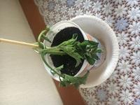 ミニトマトの挿し芽について質問です。  20センチ程に成長した脇芽を取って丸一日切り口を水に浸けました。 そのあと土に挿したのですが、すぐにしなしなになってしまいました...  水遣 りをして日陰に置いた状態です。  このままだと枯れてしまいますか?水に浸けた方が良いでしょうか?