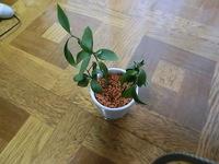 観葉植物が弱ってしまった場合どうしたらいいのでしょうか 東向きのあまり日の入らない玄関の棚に置いておいた鉢植えが 最近元気がないように見え、困っているのですが 何と言う種類の植物かも分かりません 写...