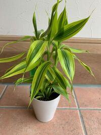 貰い物です。 大きい鉢変えをした方がいいんですか? 名前を知っているなら教えてください。 観葉植物ですか?