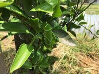 デコポンという柑橘系の苗木を育ててるのですが蝶々?の幼虫がかなりいます。これって駆除した方が良いのでしょうか? 当方素人なので優しく教えてくれる方お願いします。