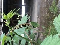 ※イモムシの画像あり。 閲覧注意。  本日、画像の通りのイモムシを見つけました。 蝶や蛾の幼虫図鑑で色々調べたのですが該当するものがありませんでした。 似たような幼虫で、フクラスズ メと言うのが居た...