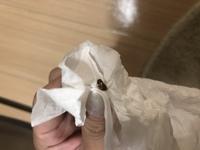観覧注意!と早めに回答が欲しいです。  これが家の中にいました。 ゴキブりの子供ですよね?  超音波の機械置いたり ブラックキャップ置いたり かなりゴキブリには気を付けてるのに ゴ キブリの子供かと...