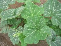 野菜に詳しい方に質問させていただきます。 こちらの野菜は何という野菜の名前でしょうか? 葉に白い線が入っているのですが・・・ よろしくお願いいたします