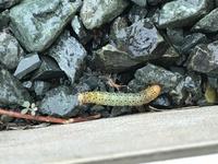 この芋虫は何の芋虫かわかる方いらっしゃいますか?