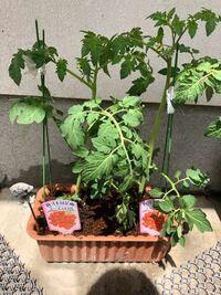 写真追加 忘れてました。 ミニトマトの苗を買ってきたのですが こんな感じにしてます。初めて育てます。  お店から 買い 黒い入れものから外しそのまま 土をかぶせ水をやりました!  後何をしたら良いですか? ①肥料は何日起きとか  ②水は いつやれば良いですか? ③余分な葉っぱは切る?  色々調べたのですが…わかりません泣))  よろしくお願いします。  ✳︎それと実を取った後 来年、この子達...