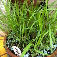 先日我が家で飼っていたセキセイインコが亡くなりプランター葬をしました。その際、勿忘草の種を撒いたのですが…明らかに違う植物が大量に生えています…( ˊᵕˋ ;) ふと思いあったのが、亡くなったうちの子を埋める時に生前食べていた餌を土に撒いたことです。 撒いたエサの配合は  玄ヒエ、玄アワ、玄キビ、玄シード、ボレー粉、クロレラアワ  でした。この餌の中のどれが生えているのか、分かる方居ますか?...