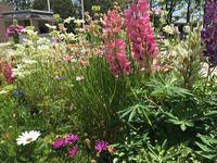矢車草の左側の白い花はなんですか?