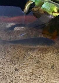 この鯉の種類はなんですか?