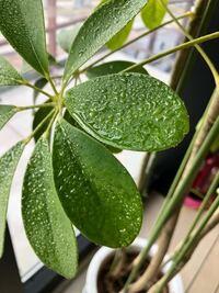観葉植物の葉っぱの表面にベタベタする水滴のようなものが付いています。 コレはなんでしょうか? 病気ですか? 対処法を教えてください。