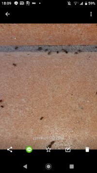 至急助けて下さい。 対処方法とか、虫の名前とか 発生源を教えて下さい  玄関の外と、家の中の窓周辺と、窓の内側に 大量の虫が発生しています。 数は10センチ四方に 50匹ぐらいで、 飛ぶ虫ではなさそうで アリン...