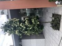 近所で素敵な庭木があり、この花木を家の花壇にも植えたいと思っています。この花木はなんでしょう?ヤマブキ?ハナミズキ?  また10年経っても横に広がらず縦にスッキリした形状を保つのは可 能でしょうか? ...