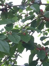 写真の植物の名前が知りたいです。赤い実と黒い実がたくさんついています。