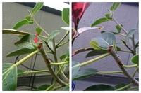 ゴムの木の新芽が開きません  昨年11月にフィカス・ベンガレンシスを購入しました。当初より7個ほど新芽が付いていたのですが、もちろん冬の間は何も動きがなく、春になって新葉を展開するの を心待ちにしてい...