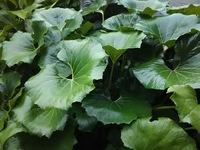 植物の名前を教えてください。 葉の大きさは25㎝くらいです。 撮影場所 兵庫県南あわじ市 撮影日 2019/6/22  宜しくお願いします。