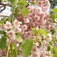 お花や木に詳しい方お願いします。 画像のような木を見つけました。 何という木でしょうか? 柳のような垂れ下がった枝でした。