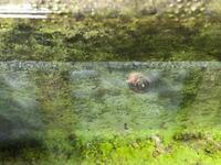メダカの水槽に貝が繁殖しています。ヒメタニシを5匹ぐらい入れていたので、ヒメタニシの子どもかなぁと思うのですが、スネールとの区別がつきません。 これはヒメタニシの子どもでしょうか?それともスネールでしょうか?
