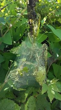 この芋虫の集合体はカイコガの幼虫ですか? 【虫画像あり】  畑の隅に生えてる樹高2mほどの桑の木に白い芋虫が糸でできた巣の中に沢山いました。 最初はここ数年大量発生してる(今年は何故か発生していない)アメシロだと思いました。 しかし、アメシロにしては芋虫の体が真っ白です、アメシロだともっと黒っぽいのですが。 ネットで調べると野生のカイコガはいないとの事なのですが、そうだとしたらこれ...