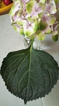 この紫陽花の品種を教えて下さい 切り花を購入しました。 可愛いので苗を購入して鉢植えにしたいので正確な品種名が知りたいです 苗として出回っていない切り花品種であれば潔く諦めます 本 当は葉っぱと花を別に撮影して乗せたかったのですが…一枚しか投稿できないようです…