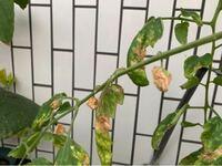 プランターでイエローアイコと普通のトマトを育てています。 どちらも順調に育っていたのですが、追肥をしてからイエローアイコの葉がどんどん茶色くなって枯れていってしまいました。 茶色くなった葉を切り落としたのですが、ほとんどの葉が無くなってしまいました。 1番上の葉は緑で、どんどん伸びています。 数日遅れで少し離れたところで育てている普通のトマトも同じ症状になってしまっています。 もうダメになっ...