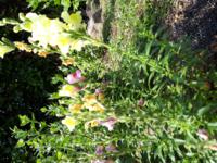 金魚草です。 種を収穫したいのですが、このままで枯らしていくと、できますか?