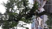 中古住宅購入。庭に沢山 木があり選択して伐採考えてます この木は何でしょうか?茎 葉が下に垂れさがってます