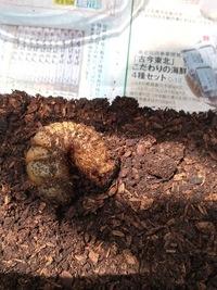 蛹室を壊してしまったのでしょうか? 6月21日にペットショップにてカブトムシの国産幼虫を購入しました。 店員さん曰く、一週間ほどで蛹になるんじゃないかとの事でした。 買って一週間ほどは、土の中を動き回っていました。 一週間ほど前、土を全取り換えしました。 そして数日前からあまり動き回らなくなり、土の中から出てこなくなりました。  今朝、土を動かして生きているのか様子をみてしまいま...