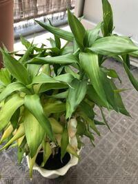 この植物を室内から屋外へと移動させたら、葉っぱの色素が薄くなっていました… 室内で飼育すべき植物なんでしょうか? ちなみに屋外へ移動させて2週間ほど経っています。 この植物の名前と、屋外で飼育していいか...