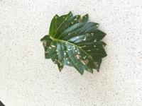 【画像あり】この葉は何の病気ですか?  お世話になります。 ダリア の葉がいきなり白い斑点でブツブツになってしまいました。 コレはどんな病気でしょうか?ハダニですか? 葉の後ろに虫 は居ないように見えます。。  どのようにしたら治るでしょうか。。。