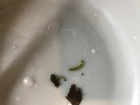 これは、何かの幼虫ですか? エアレーションしているドワーフザリガニと同居してたようで、先ほど気づきました。水槽のクヌギの葉っぱをお家にして、暮らしていたみたいです。