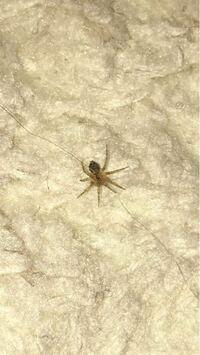 最近寝室に3〜5ミリほどの小さな蜘蛛が出ます。 少し調べると益虫であると出てくるのでなるべく見過ごすようにはしているのですが、一緒に寝ていることになるのでせめてなんの蜘蛛か、なにか対策はあるのか知りたいです。   画像を貼っておきます。よろしくお願いします。
