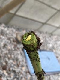 プランターできゅうりやゴーヤ、大葉を育てているのですが、きゅうりやゴーヤの葉の裏に、薄黄色のような白っぽいような虫が付くようになりました。 体長2〜3mmから、5mmくらいのものもいて、 取ろうとするとバッタのように跳んで逃げてしまう事もあります。 きゅうりの葉を見ると、表面に黄色い斑点が少し出て来ているため、ミナミキイロアザミウマかとも思いましたが良くわからず… この虫の正体や対処方...